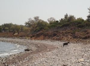 Τα κατσίκια στη Σαμοθράκη τα βλέπεις παντού: ακόμα και στις παραλίες (εδώ στο κοντά στο δρόμο από τα Θερμά προς το Φονιά).