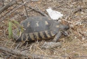 Χελώνα στα Τουρκοβούνια (Δήμος Αθηναίων).
