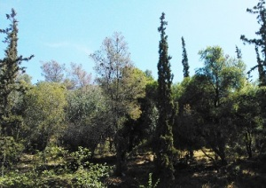 Δάσος με πεύκα, κυπαρίσσια και ελιές στα Τουρκοβούνια.